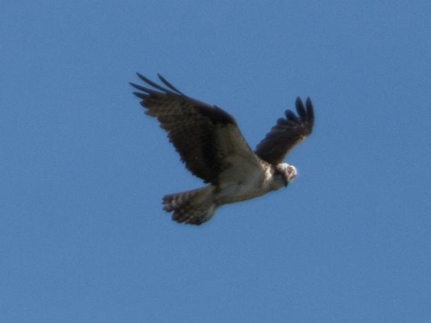 Osprey, Swan Pond