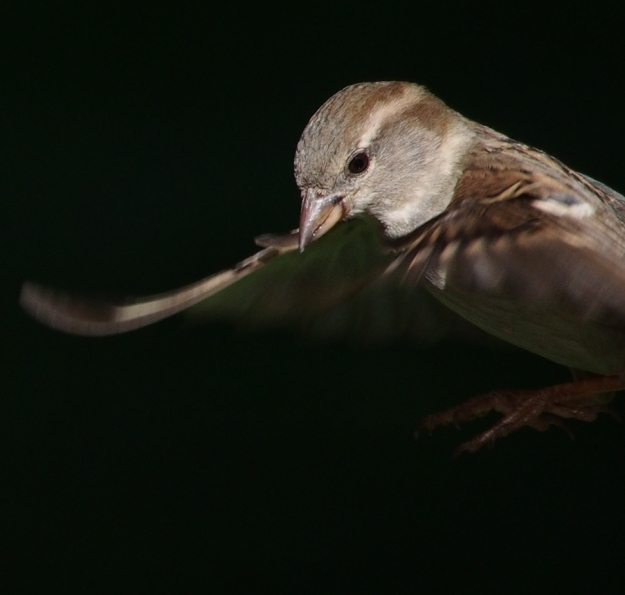 House Sparrow coming in