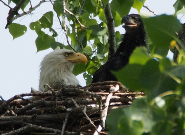 Baby Eagle and a parent