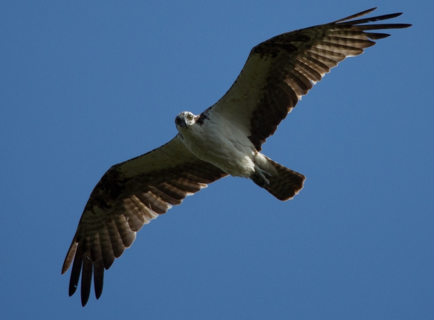 Osprey up close