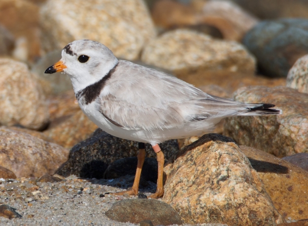 Piping Plover dad