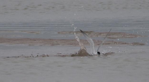 Least Tern Fishing