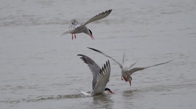 Terns Swiming