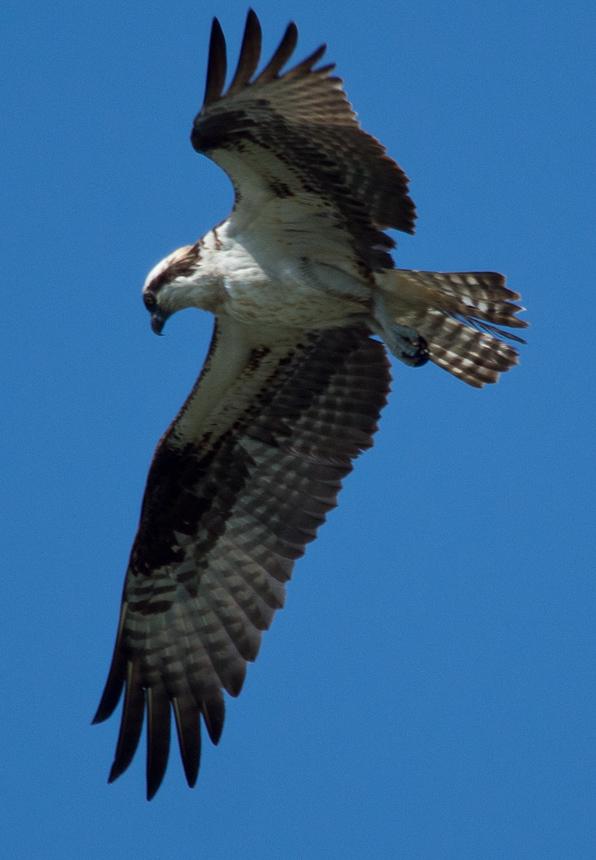 Osprey Hunting