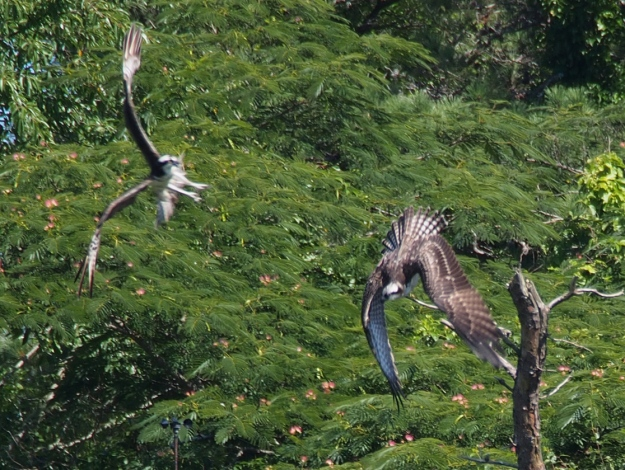 Osprey Fight