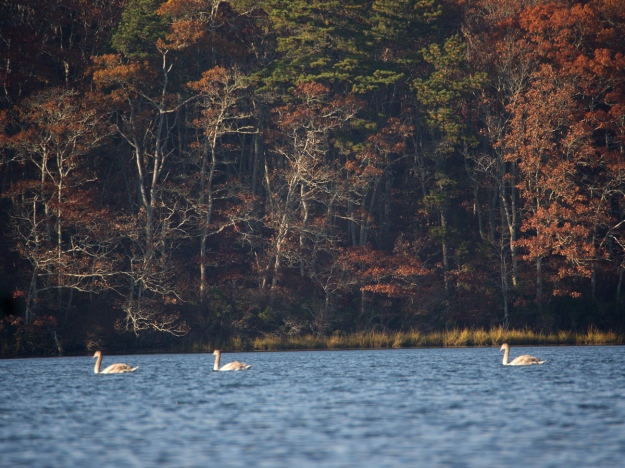 Distant Swans