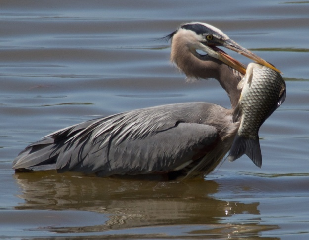 Great Blue Heron trying to eat fish