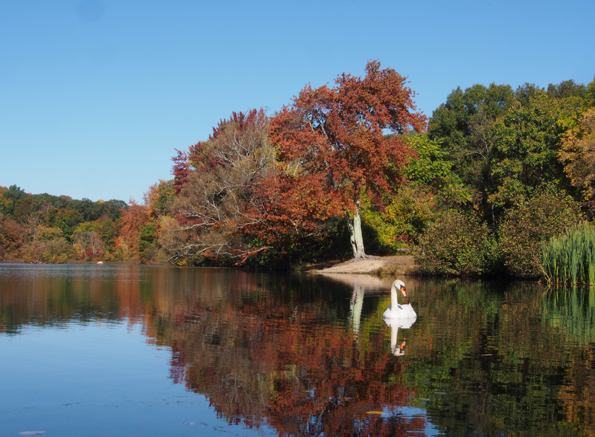 Swans in Mill Pond, Milford, MA