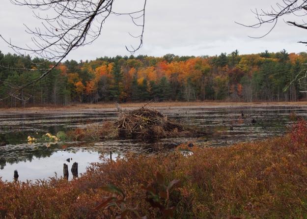 Beaver house, Heald Pond