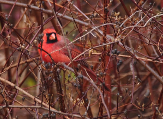 Cardinal in the bush