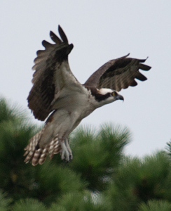 Osprey Landing - photo by Trent P McDonald