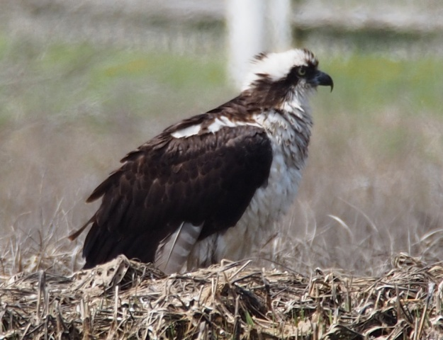 Osprey Preening