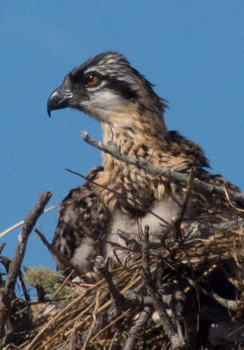Baby Osprey - isn't he cute?
