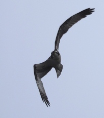 Osprey angled