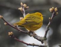 Yelow warbler