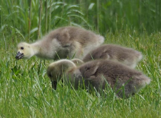 Baby Geese - Gosslings