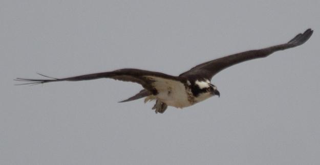 Osprey Fly 3