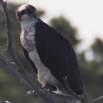 An Osprey in a tree