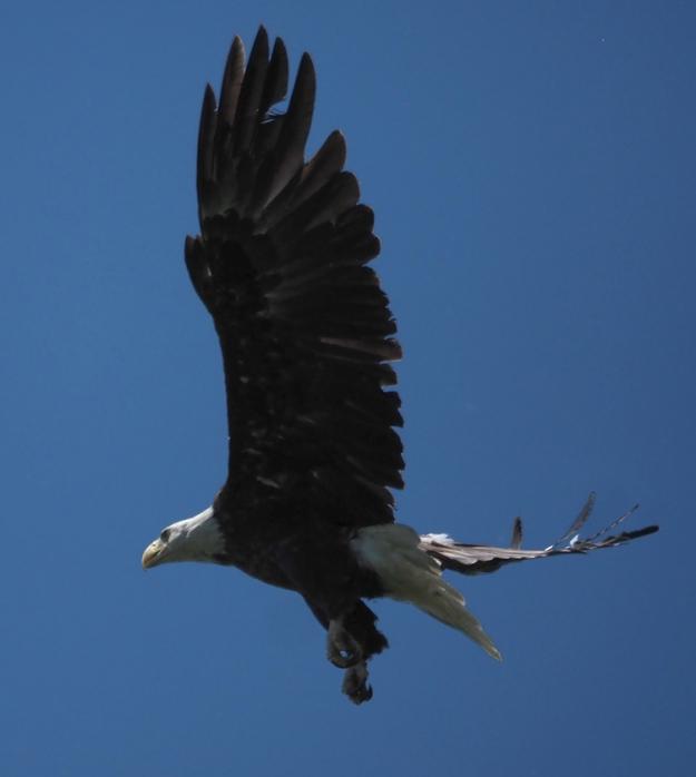 Mature eagle in flight