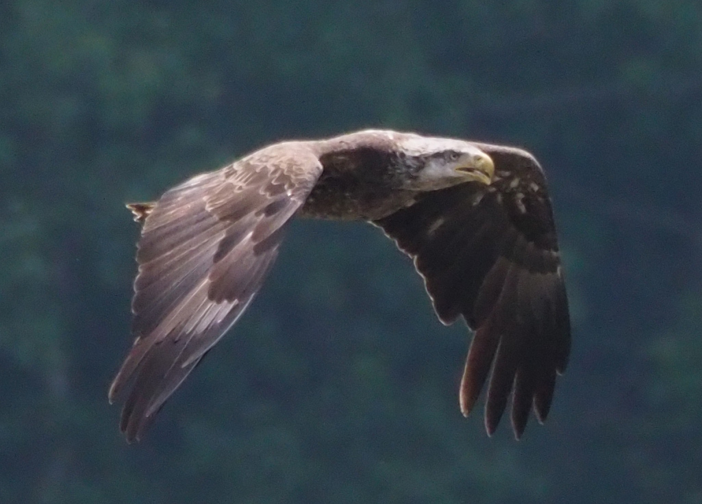 Immature eagle flying