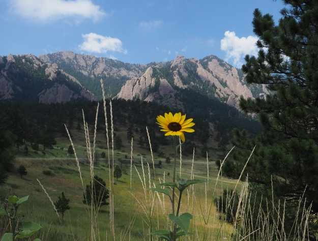 Flower with Flatirons in the background