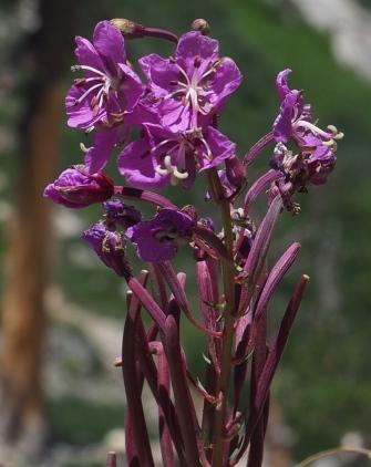 Purple alipne flower