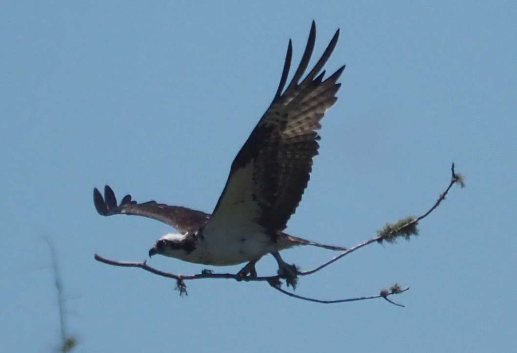 Osprey with stick