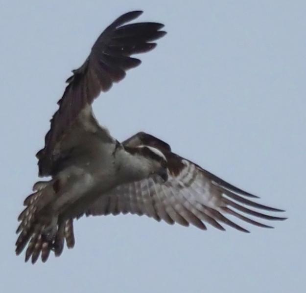 Osprey - hover1