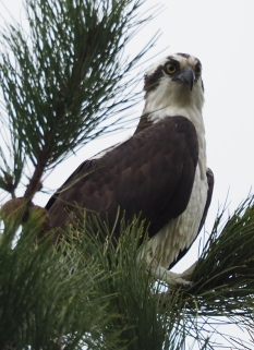 Osprey in a tree