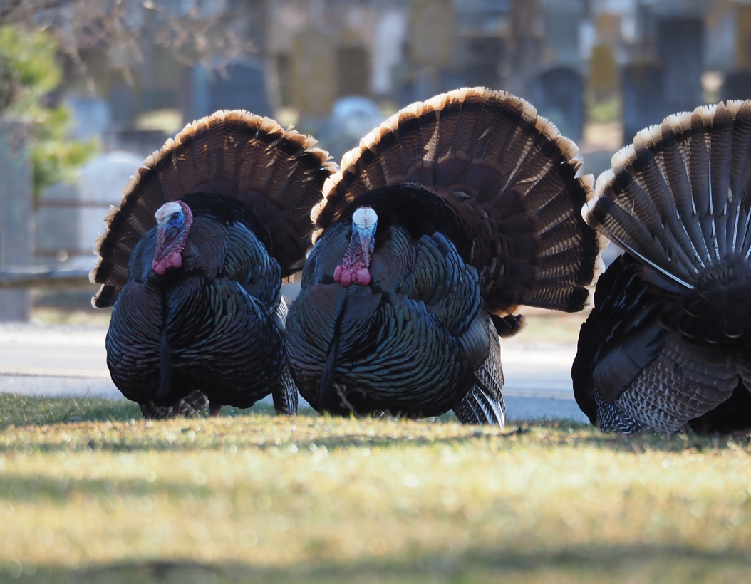 Three Turkeys