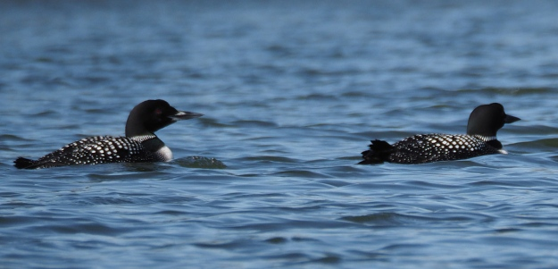 A couple of loons
