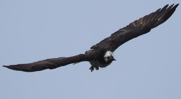 Osprey Shaking