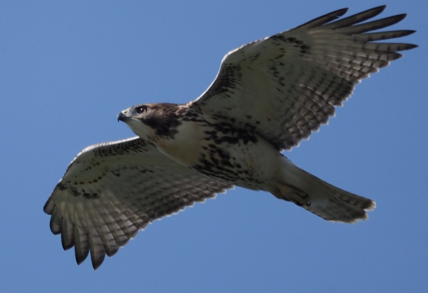 Immature red Tail Hawk flying over
