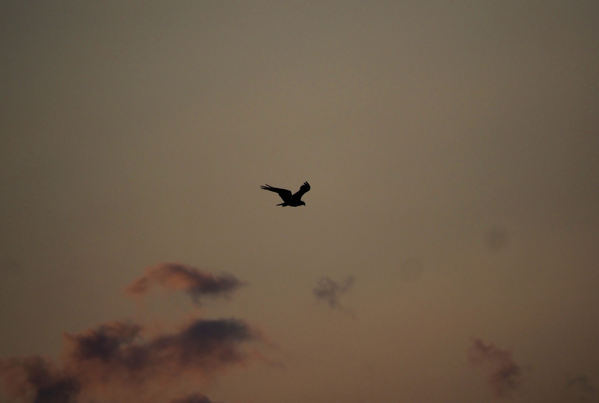 Osprey at Sunset