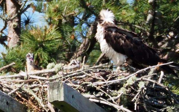 Momma osprey and chick