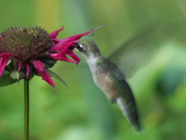 Hummingbird crop